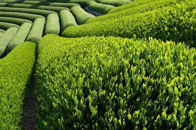 Чай Шри-Ланки
