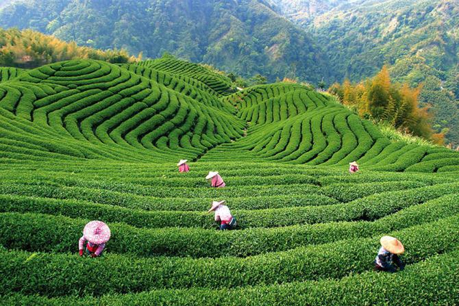 какой зеленый чай для похудения выбрать